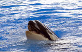 A killer whale, Orcinus Orca, — Stock Photo