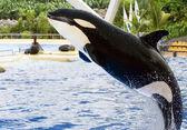 A killer whale, Orcinus Orca, — Stock Photo