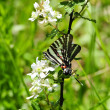 Zebra swallowtail butterfly — Stock Photo
