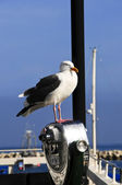 Seagull posing — Stock Photo