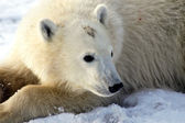 Young Polar Bear — Stock Photo