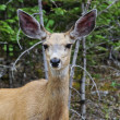Stock Photo: Mule Deer