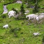 Mountain Goat family — Stock Photo
