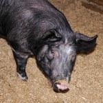 porco con il naso sporco — Foto Stock