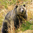 Stock Photo: Grizzly sow