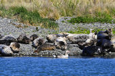 Seals Sleeping — Stock Photo