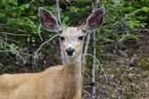 Mule Deer — Stock Photo