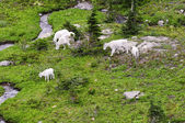 Mountain Goat family — Stock Photo