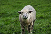 Sheep with grass — Stock Photo