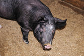 Hog with dirty nose — Stock Photo
