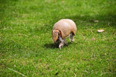 Three banded armadillo — Stock Photo