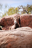 Desert big horn sheep — Stock Photo