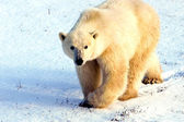 Watchful Polar Bear — Stock Photo