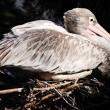 Stock Photo: Pink backed pelican
