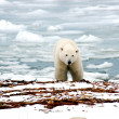 Polar Bear — Foto de stock #3453556