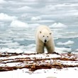 urso polar — Foto Stock #3453556