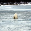 Photo: Polar Bear