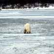 Polar Bear — Stock Photo #3562665