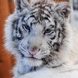 Stock Photo: White tiger cub