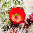 Stock Photo: Red claret cup cactus