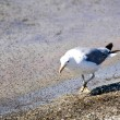 California Gull at Mono Lake - Foto Stock
