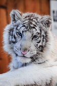 White tiger cub — Stock Photo