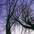 Winter Trees at Dusk — Stock Photo