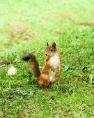 Standing squirrel — Stockfoto