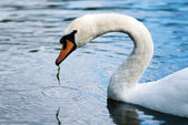 Eating swan — Stock Photo