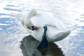 Cleaning swan — Stock Photo