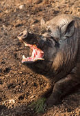 Big swine with open mouth — Stock Photo