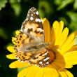 Painted lady butterfly — Stock Photo #2724227