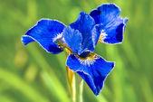 Blue iris — Stockfoto