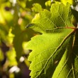 Dramatically Lit Grape Leaf Details — Stock Photo