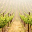 Beautiful Lush Morning Grape Vineyard — Stock Photo