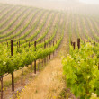 beautiful lush grape vineyard in the morning mis — Stock Photo