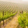 Beautiful Lush Grape Vineyard — Stock Photo #3123097