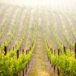 Stock Photo: Beautiful Lush Grape Vineyard
