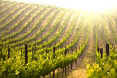 Hermoso viñedo de uva exuberante — Foto de Stock