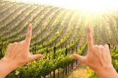 Hands Frame Beautiful Grape Vineyard — Stock Photo