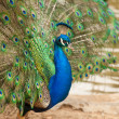 Impressive Proud Peacock with Feathers — Stock Photo