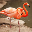 Beautiful Flamingo Couple Resting on the Shoreline — Stock Photo
