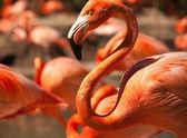 Flock of Beautiful Flamingos — Stock Photo
