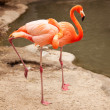 Beautiful Flamingo Couple Resting - 图库照片