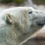 Изображение профиля красивый величественный белый полярный медведь — Стоковое фото