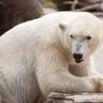 Красивый белый полярный медведь ест — Стоковое фото