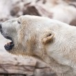 Beautiful Majestic White Polar Bear — Stock Photo #3151999
