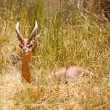 Beautiful Gazelle Resting in Tall Grass - Stock Photo