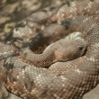 Western Diamondback Rattlesnake Resting — Stock Photo
