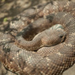 Western Diamondback Rattlesnake Resting - Stock Photo